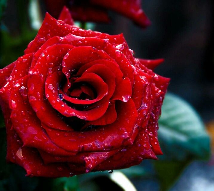 Pin By Trinidad Lawyer Richard Sirjoo On Roses Pinterest Red