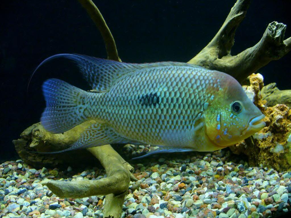 Freshwater aquarium fish cichlids - A Beautiful 10 5 Umbee Fresh Water Cichlid