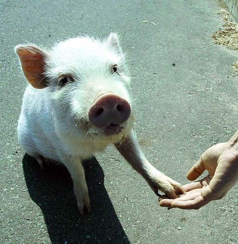 Pig  As sentient and intelligent an animal as a dog or cat