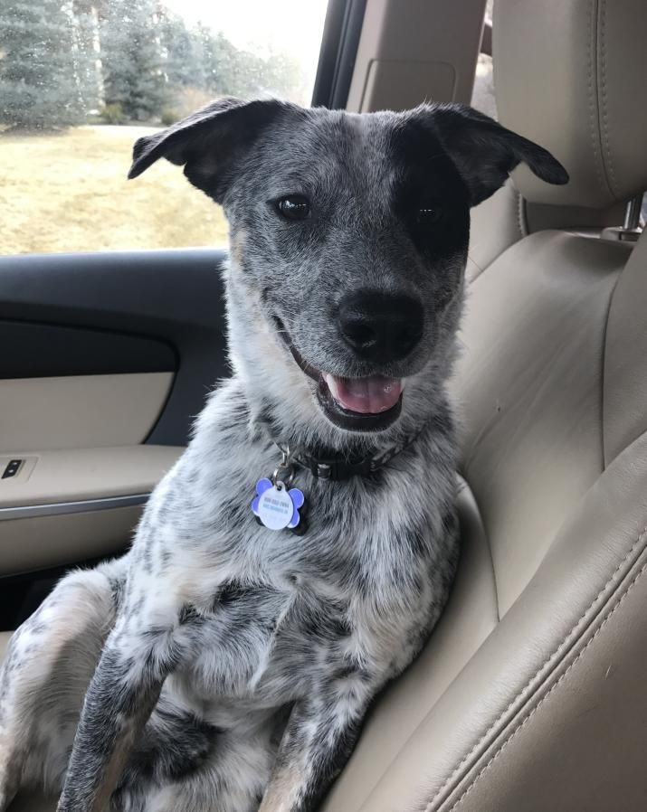 Rehomed Bandit Blue Heeler German Shorthaired Pointer Mix Puppy