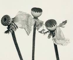 Image result for irving penn flowers