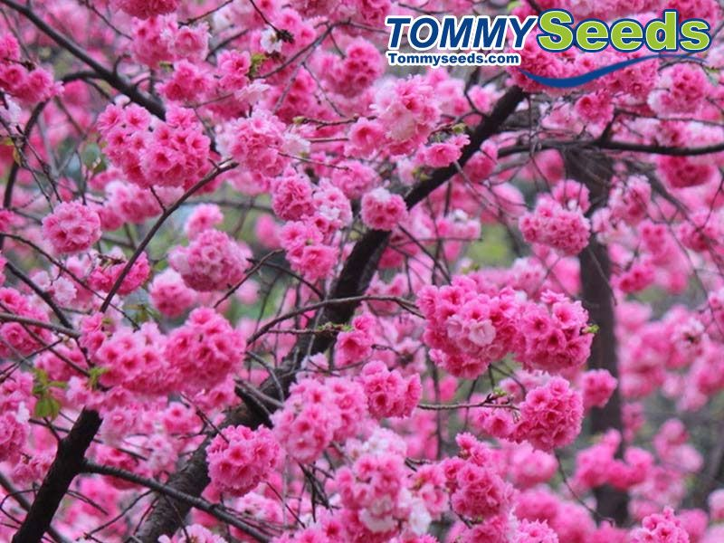 Japanese Sakura Cherry Blossom Tree Seeds For Diy Home Garden Woody Cherry Flower Tree Tommy Seeds Tree Seeds Flowering Trees Cherry Flower