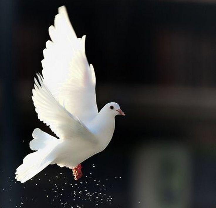 White Dove Beautiful Bird Animal Freedom Wallpaper Background Bird Photography Dove Bird Beautiful Birds