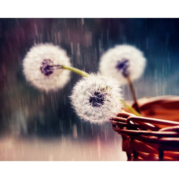 Fine Art Photography. Rustic Still Life Photography. Dandelions under the rain. Noise. Spring Summer Flowers. Nature Color Photography. (98 PLN) found on Polyvore