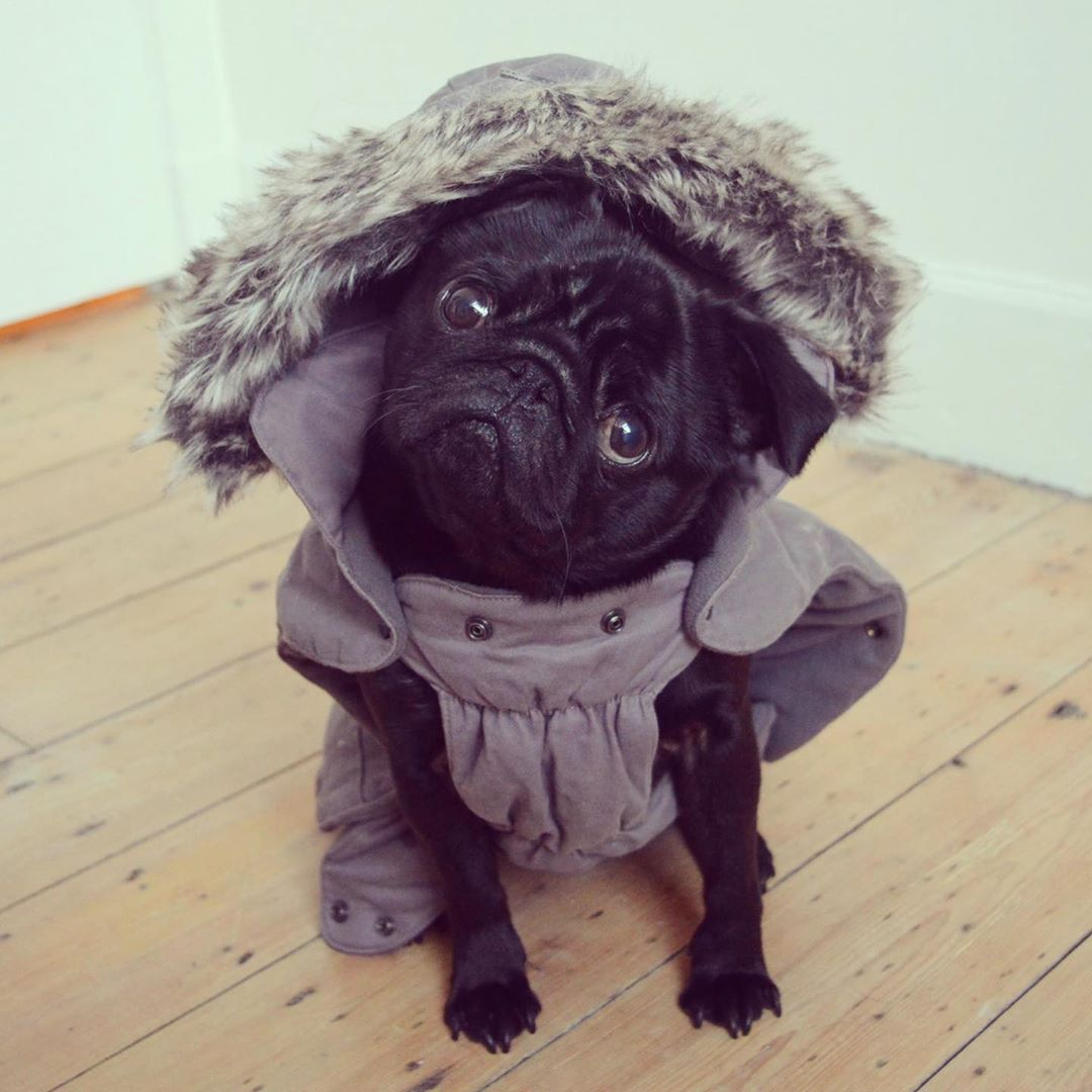 Fashionista Influencer Pug Blackpug Pugsofinstagram Instapug