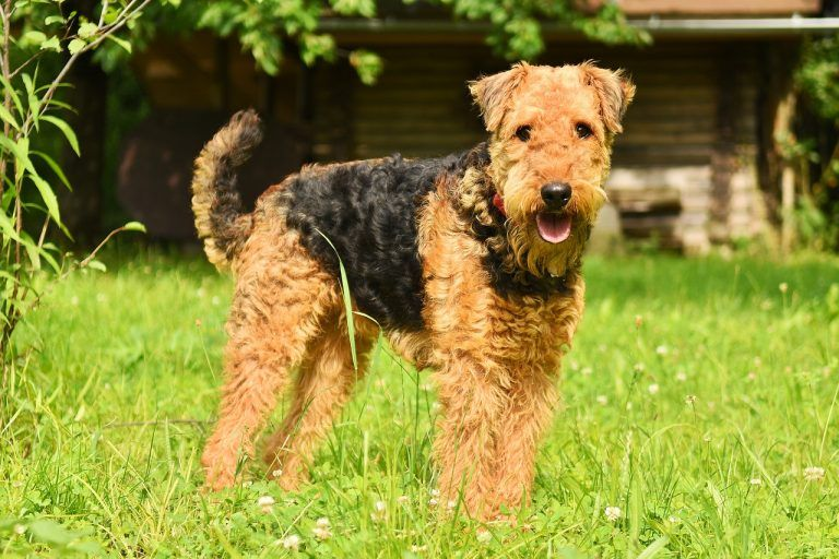 10 Large Breed Dogs That Don T Shed And 5 That Shed Less Than Normal Large Dog Breeds Airedale Terrier Dog Breeds