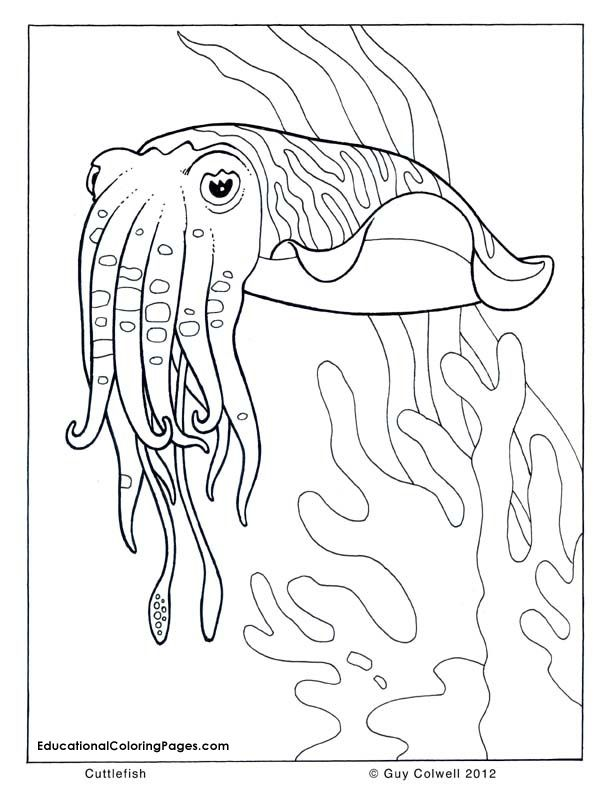 cuttlefish coloring pages  Animal Coloring Books  Pinterest