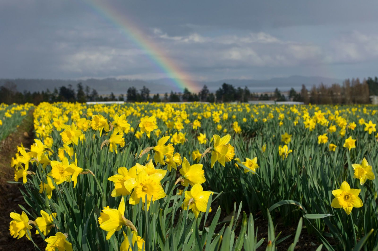 14 Facts Every Daffodil Devotee Should Know