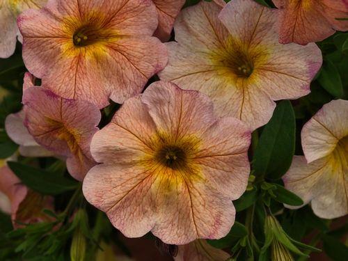 New Flowers Vegetables Herbs Edibles Garden Petunias Edible Garden Flower Catalogs