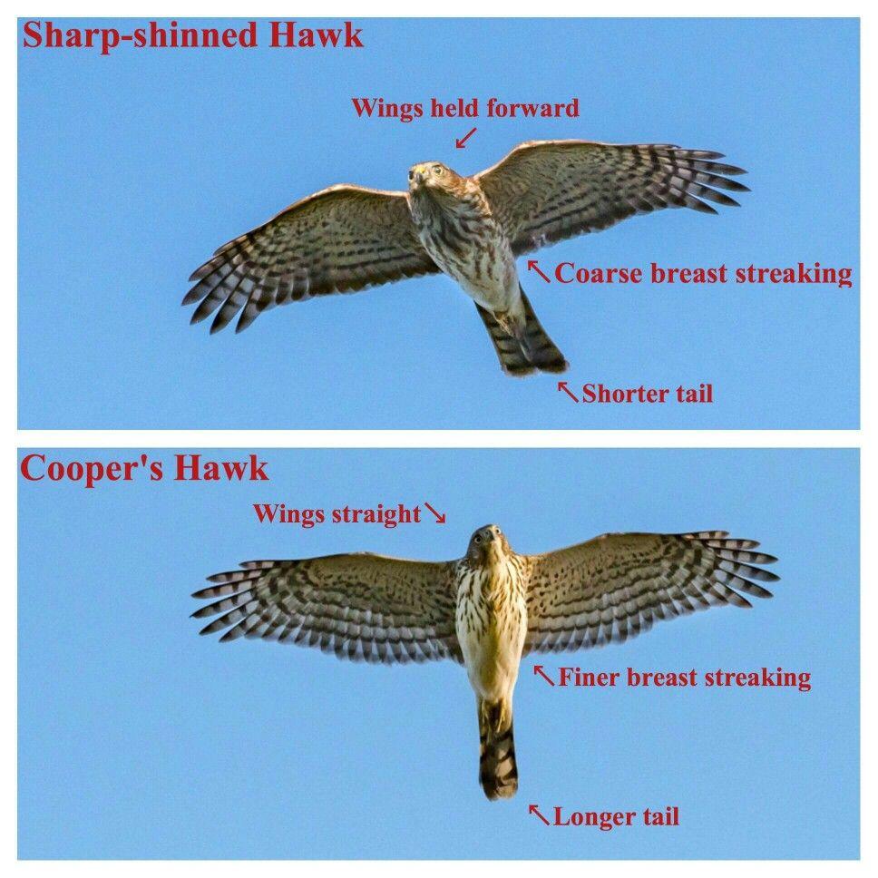 Sharp Shinned Hawk Vs Coopers Hawk In Flight