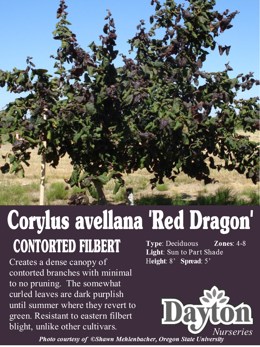 corylus avellana u0027red dragon u0027 contorted filbert creates a