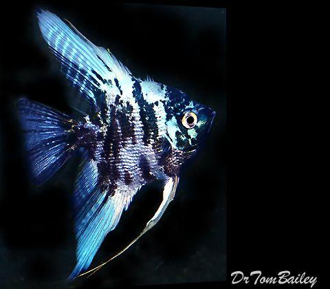 Angelfish For Sale Aquariumfish Net Angel Fish Aquarium Fish Fish