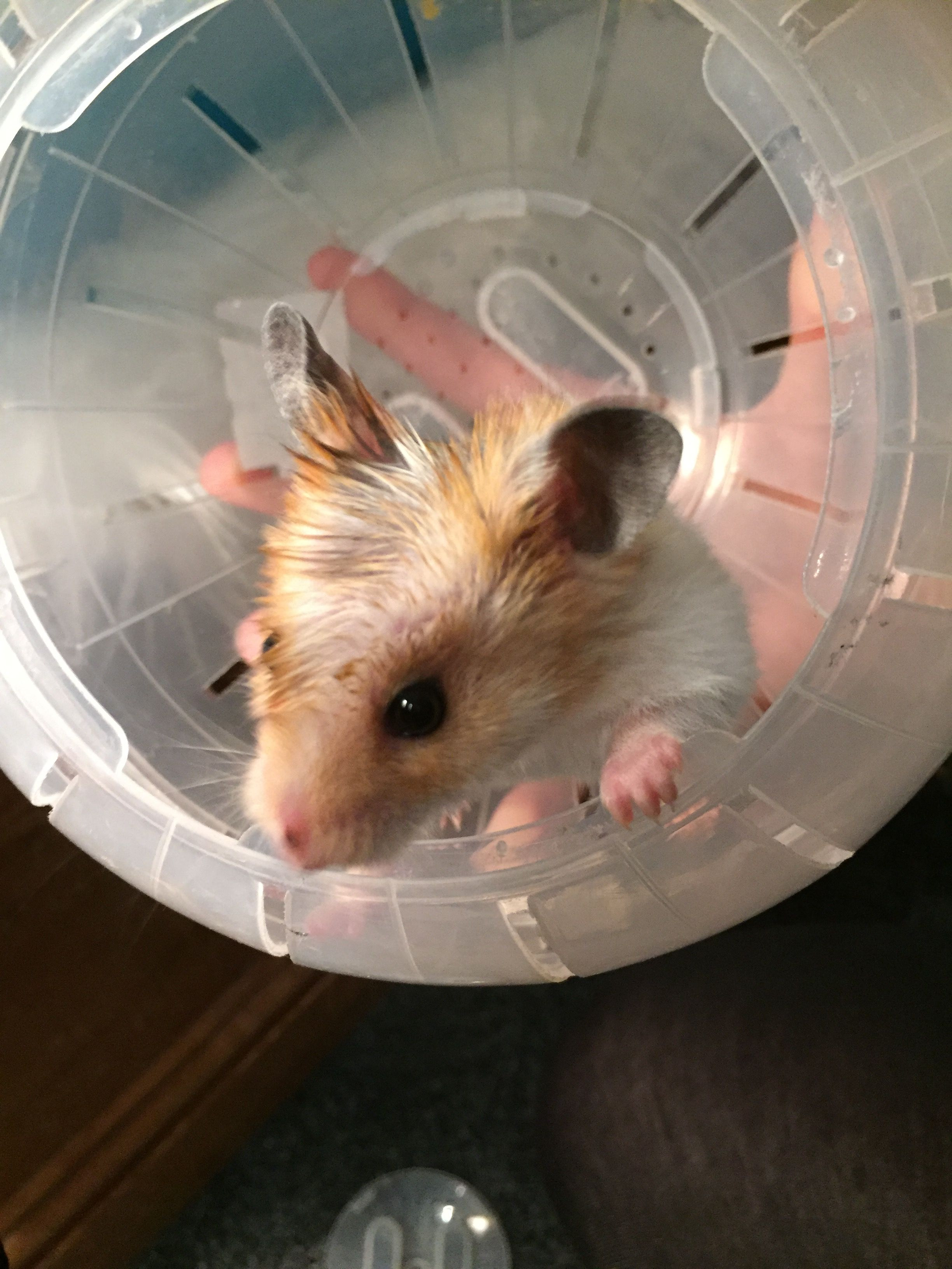Olive oil Mohican Rhino the Hamster Fur babies