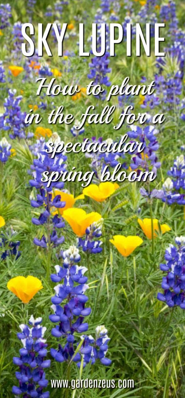 Sky Lupine A Lovely California Native Wildflower