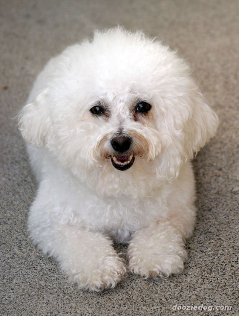A Lapful Of Charm In Cotton Ball Cloud Curly White Hair The Bichon Frise Is One Sweetest And Most Affectionate Dog Breeds