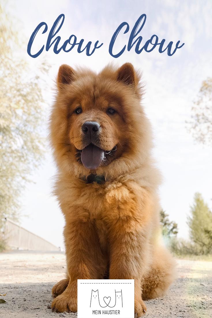 Das Teddyartige Aussehen Die Charakteristische Blaue Zunge Und