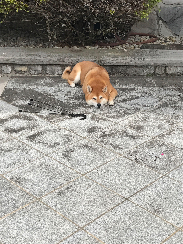 Pin by raina pahade on tikka shiba inu 5 year olds dogs