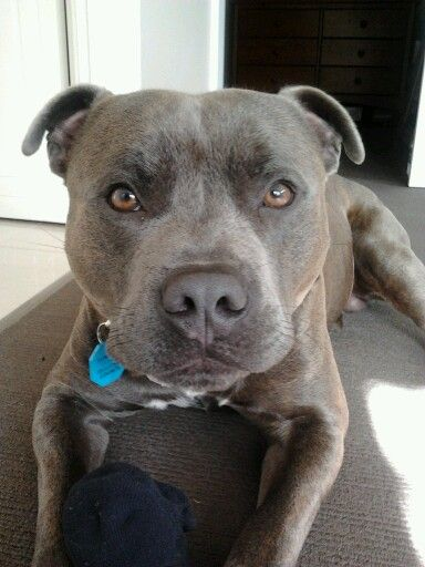 Early Morning Sneak Attack Stealing Socks Male Blue Staffy 15