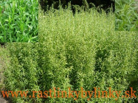 Palina dračia – Estragón  (Artemisia dracunculus L.)  1,95€ / rastlinka
