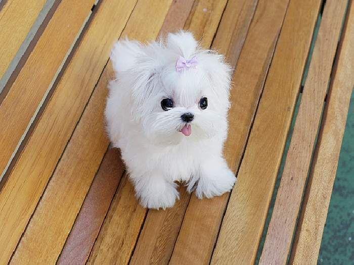 Miniature Maltese Puppy Mascotas Bonitas Perros Bichon Maltes Mascotas