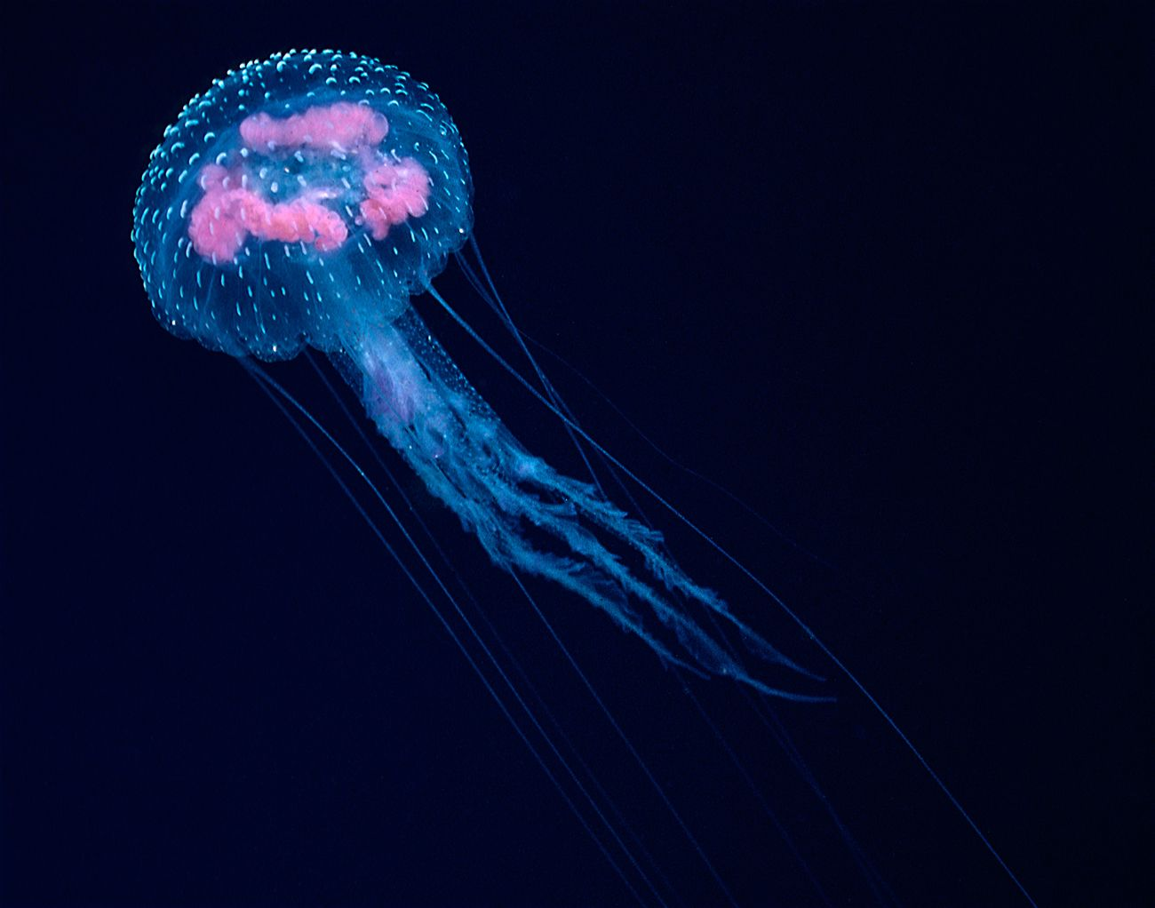 Small Fish Larvae Eggs The Bioluminescent Jellyfish Pelagia