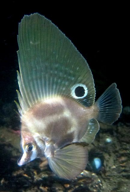 hutchins boarfish pesesenelmar pinterest