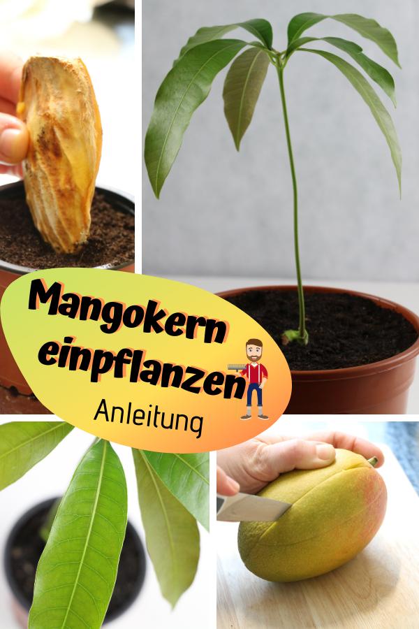 Mangopflanze ziehen: Mangokern einpflanzen #howtogrowvegetables