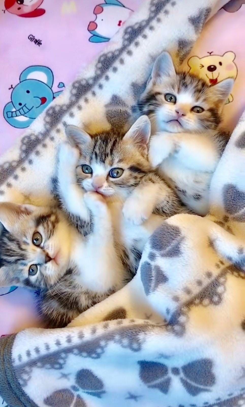 Three S Company Kittens Cutest Baby Cats Baby Animals