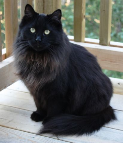 One year old maine coon cat