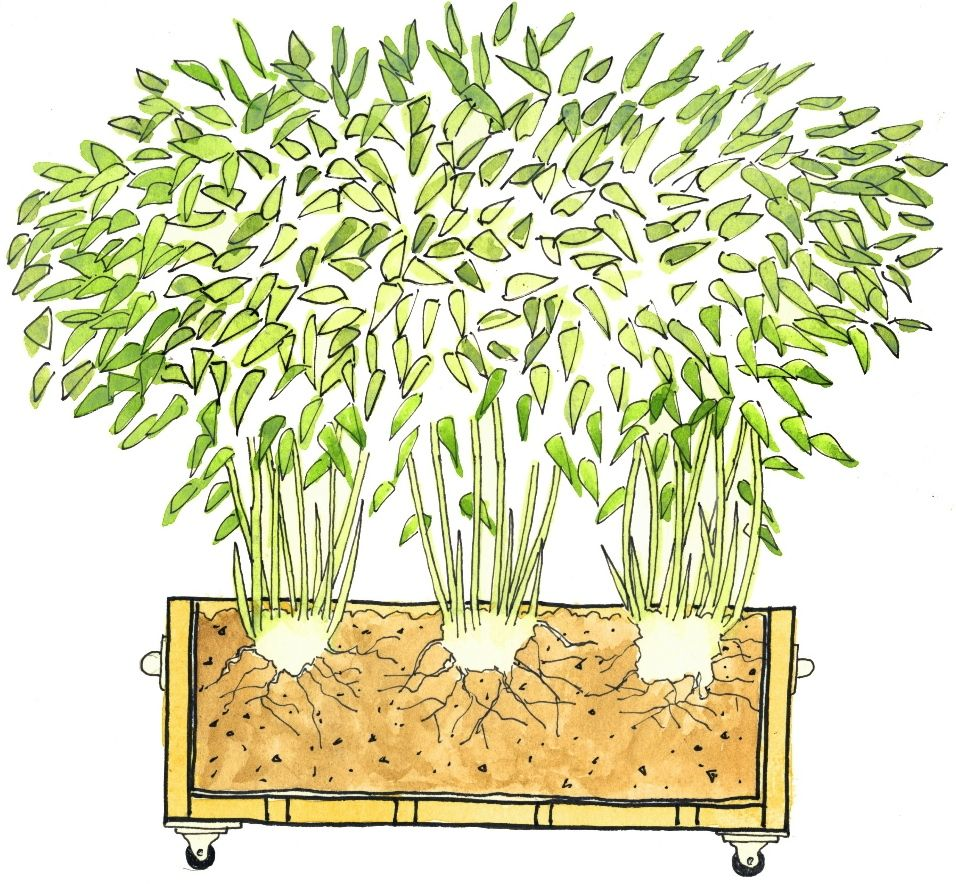 Sichtschutz Balkon Bambus Pflanze Bamboo In A Box Makes A Portable Screen Garden