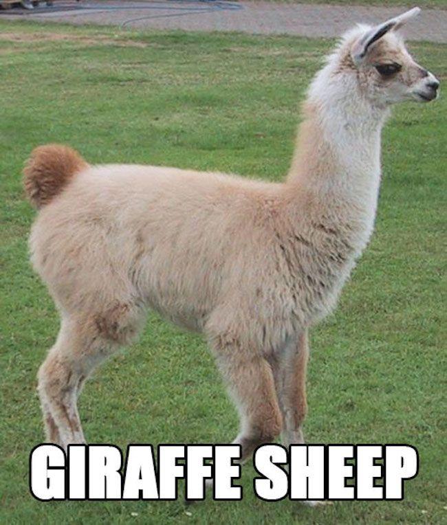 33143e54 'Proper Animal Names', Vol. 2 RuinMyWeek.com #funny #pictures #photos #pics  #images #humor #hilarious #comedy #animals #animal #cute #llama #llamas. '