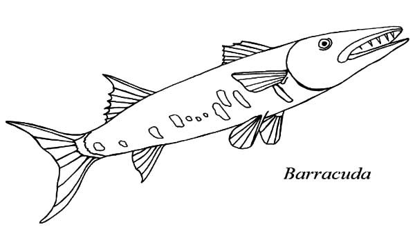 Barracuda Animal Coloring Pages Barracuda Tryonshorts Com Fish