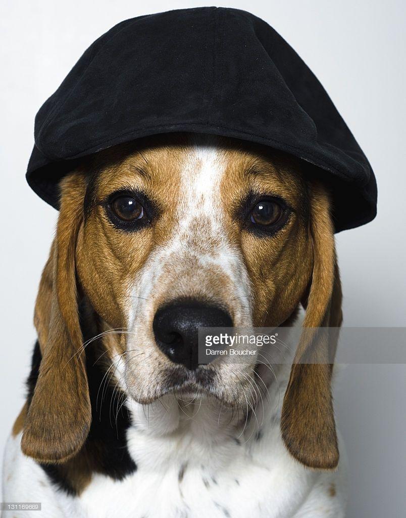 83b0d71b036 Hound dog wearing black cap.
