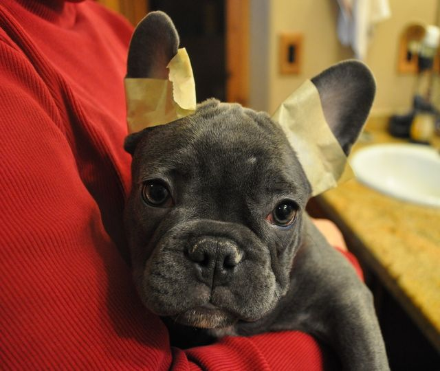 Taping The Ears Of French Bulldogs French Bulldog French