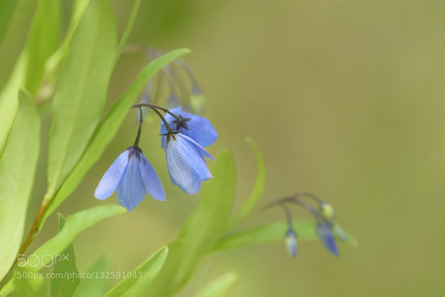 Blue Bell Creeper by Suem1