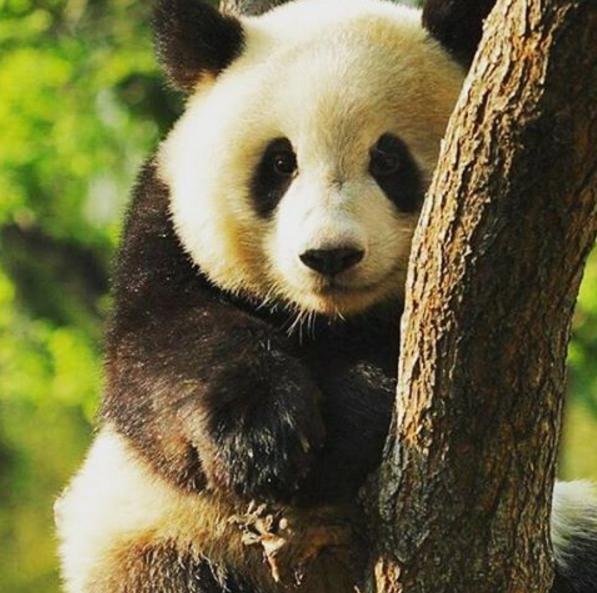 De reuzenpanda is van de lijst van bedreigde diersoorten!