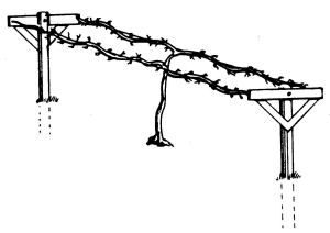 The double-curtain trellis with established vines