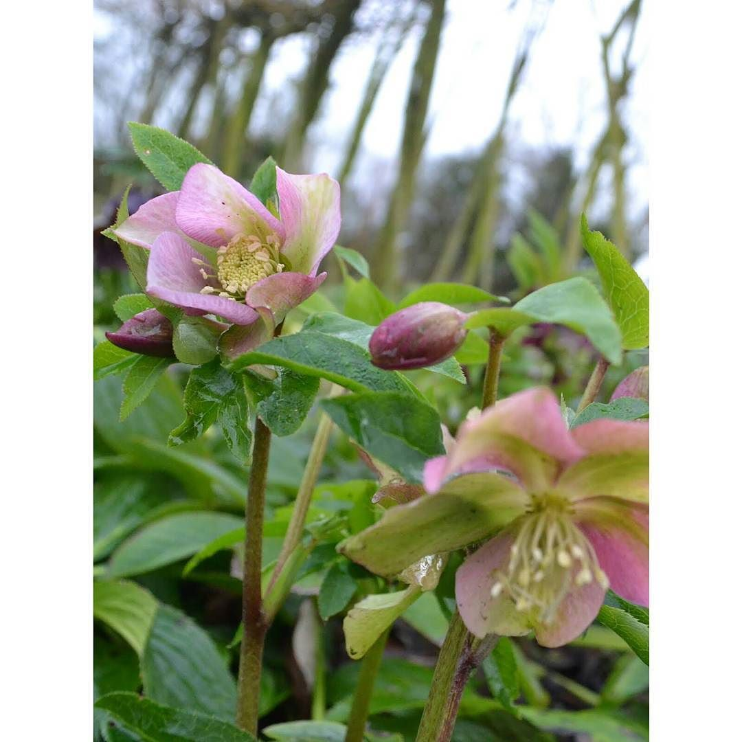 This time last year the hellebores were looking amazing. This January they are nowhere near as far on. The winter has been much colder so I presume that's the reason. One of the things I've found hardest with this job is predicting what will be ready when - a constant reminder that it's nature not me who's in control. #hellebore #winterflowers #season #winter #flowergrower