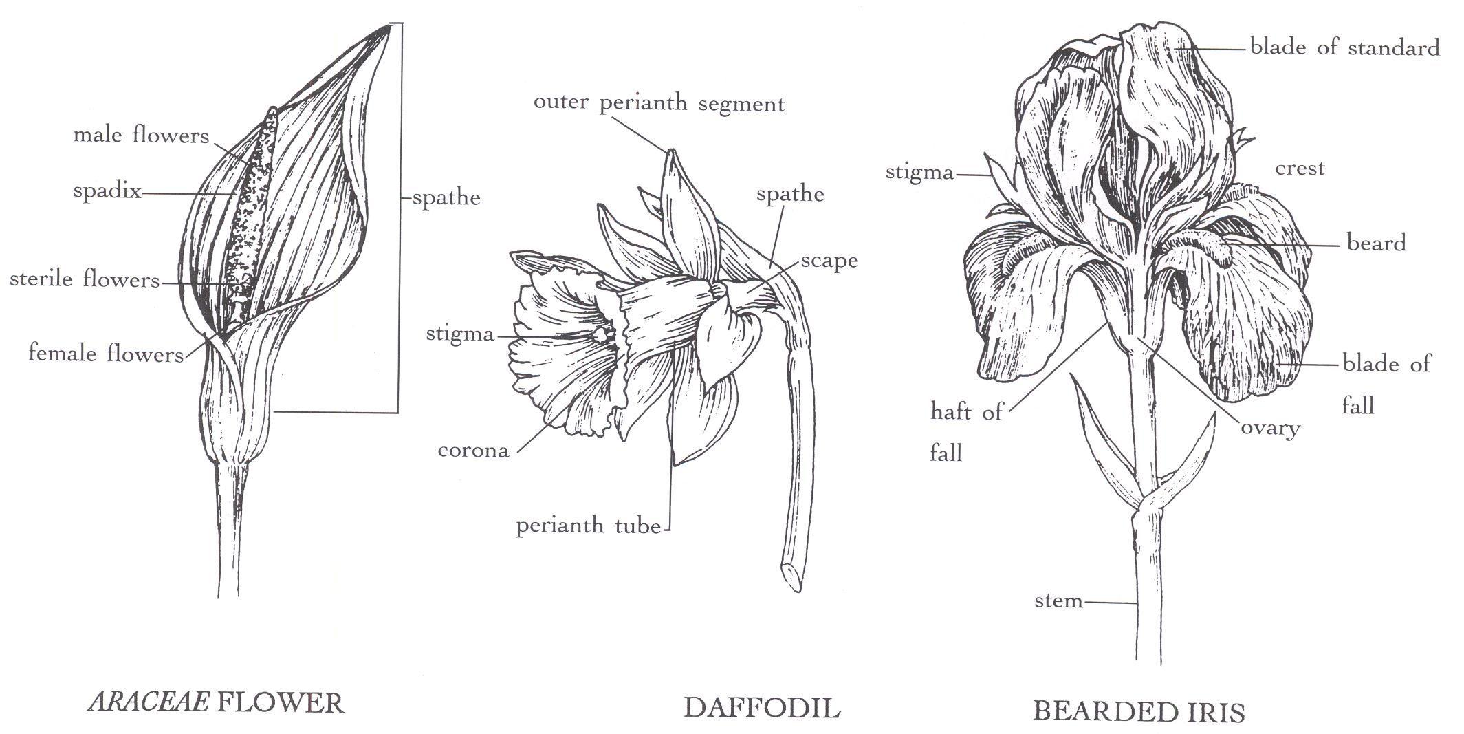 Araceae Flower Google Search Image Family Humanoid Sketch