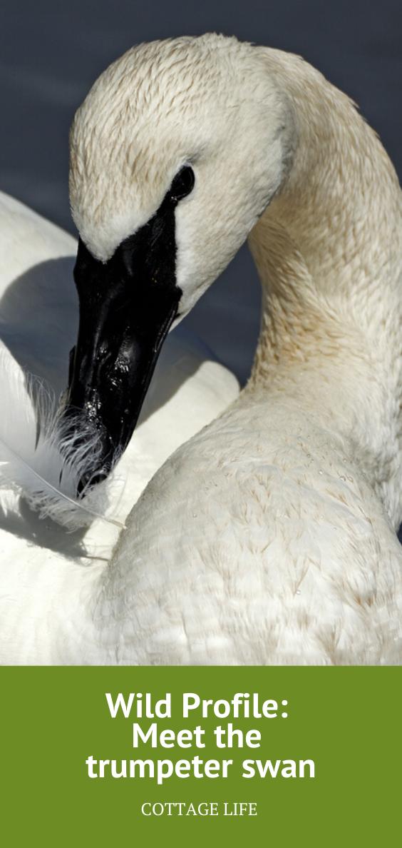 Wild Profile Meet the trumpeter swan Trumpeter swan