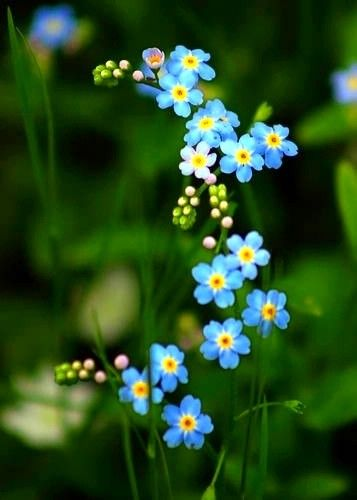 Forget Me Nots My Daughter Gave The Seeds Of This Flower