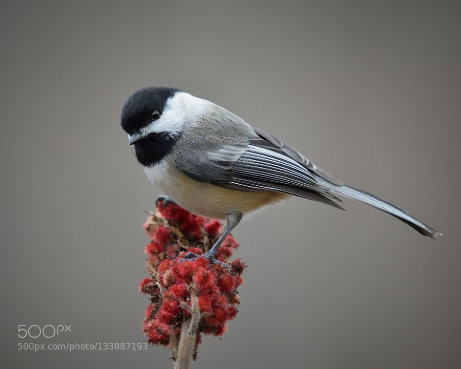 Chickadee de philscott2