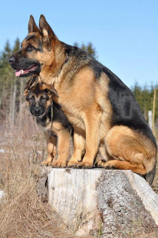 Pin by Atif Satti on Dogs German shepherd dogs, Shepherd