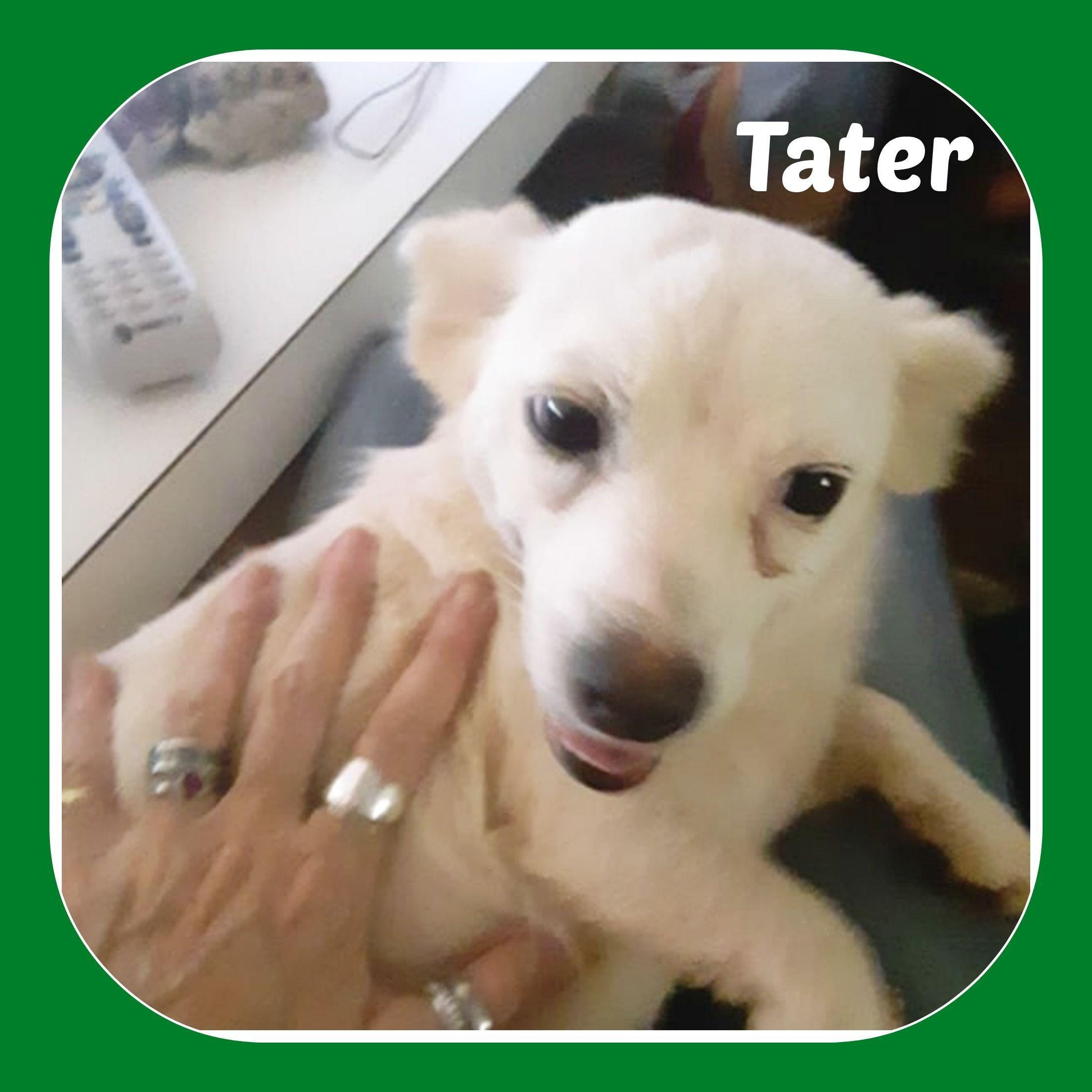 Adopt Tater On Chihuahuas For Adoption Chihuahua Pet Adoption