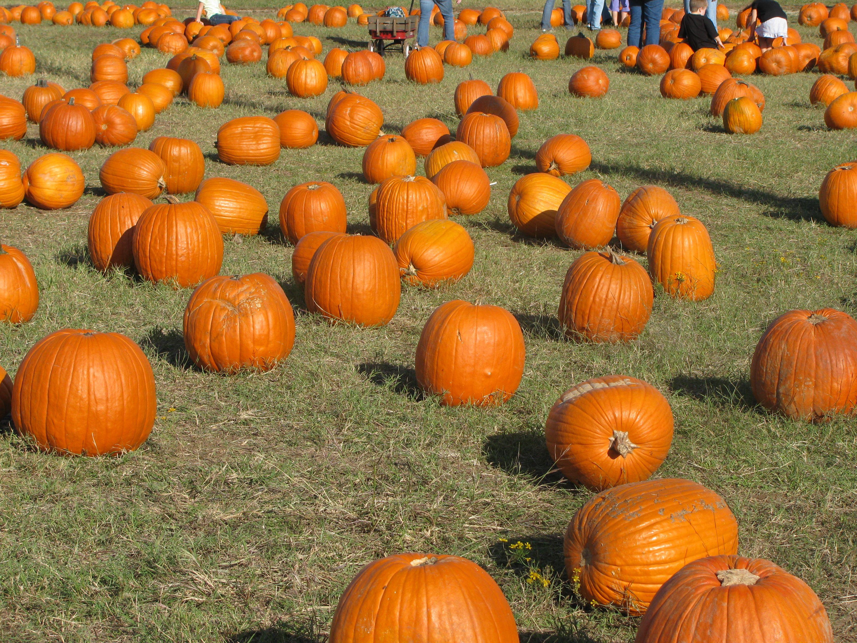 Flower Mound, TX Pumpkin Patch. Thinking about Halloween