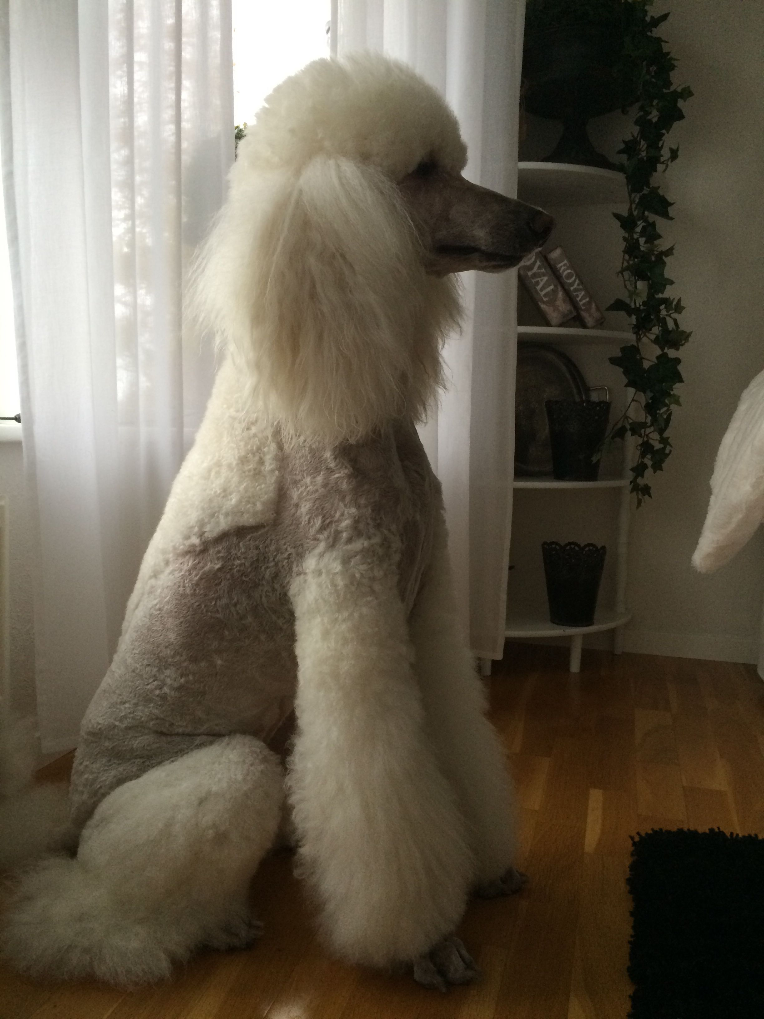 White Standard Poodle Laiza I Love Dogs Poodle Grooming