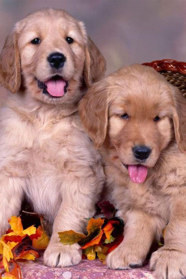 Puppies Dog Wallpaper Cute Dogs Cute Puppies