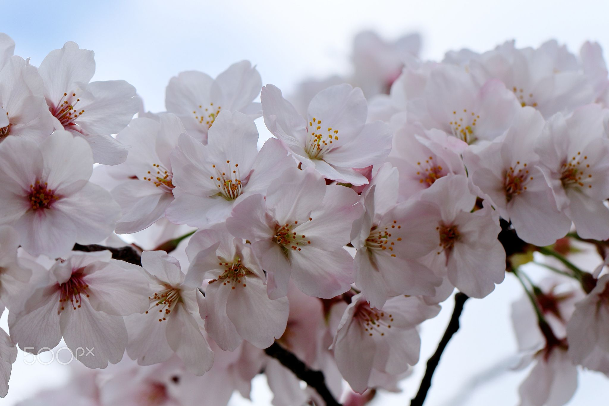 Cherry Blossoms - null