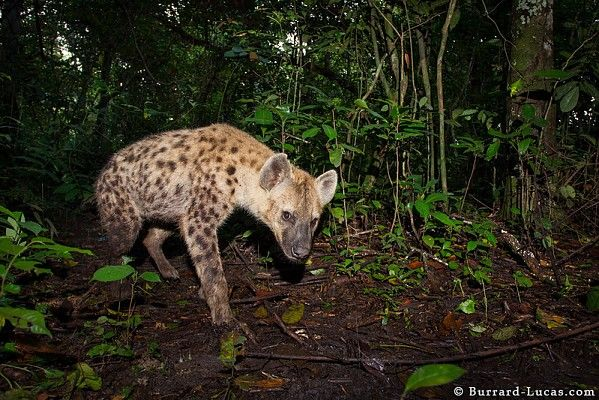 Spotted hyaene in a camera trap at Lango Camp #OdzalaKokouaNP #Congo