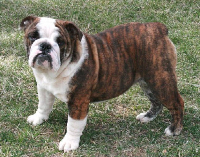 Bulldog Puppies Brindle